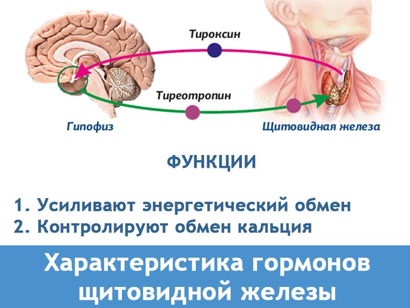 гормон щитовидной железы